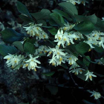 Photograph of the Texas Snowbells