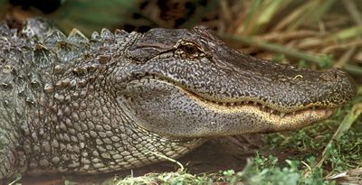 Photograph - profile of American Alligator (Alligator mississippiensis)