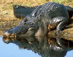 http://www.tpwd.state.tx.us/huntwild/wild/images/reptiles/alligator_enottingham02.jpg