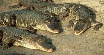Photograph - group of American Alligators (Alligator mississippiensis)