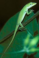 Picture of Green Anole (Anoles carolinensis)