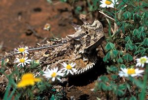 Picture of Horned Lizard on the ground