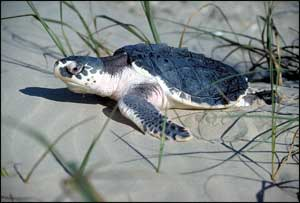 Photograph of Kemp's Ridley Sea Turtle