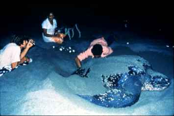 Photograph of the Leatherback Sea Turtle