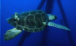 Photograph of the Loggerhead Sea Turtle