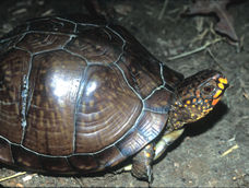 Photograph - Eastern Box Turtle (Terrapene carolina subsp. triungius)