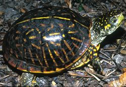Photograph - Ornate Box Turtle (Terrapene ornata)