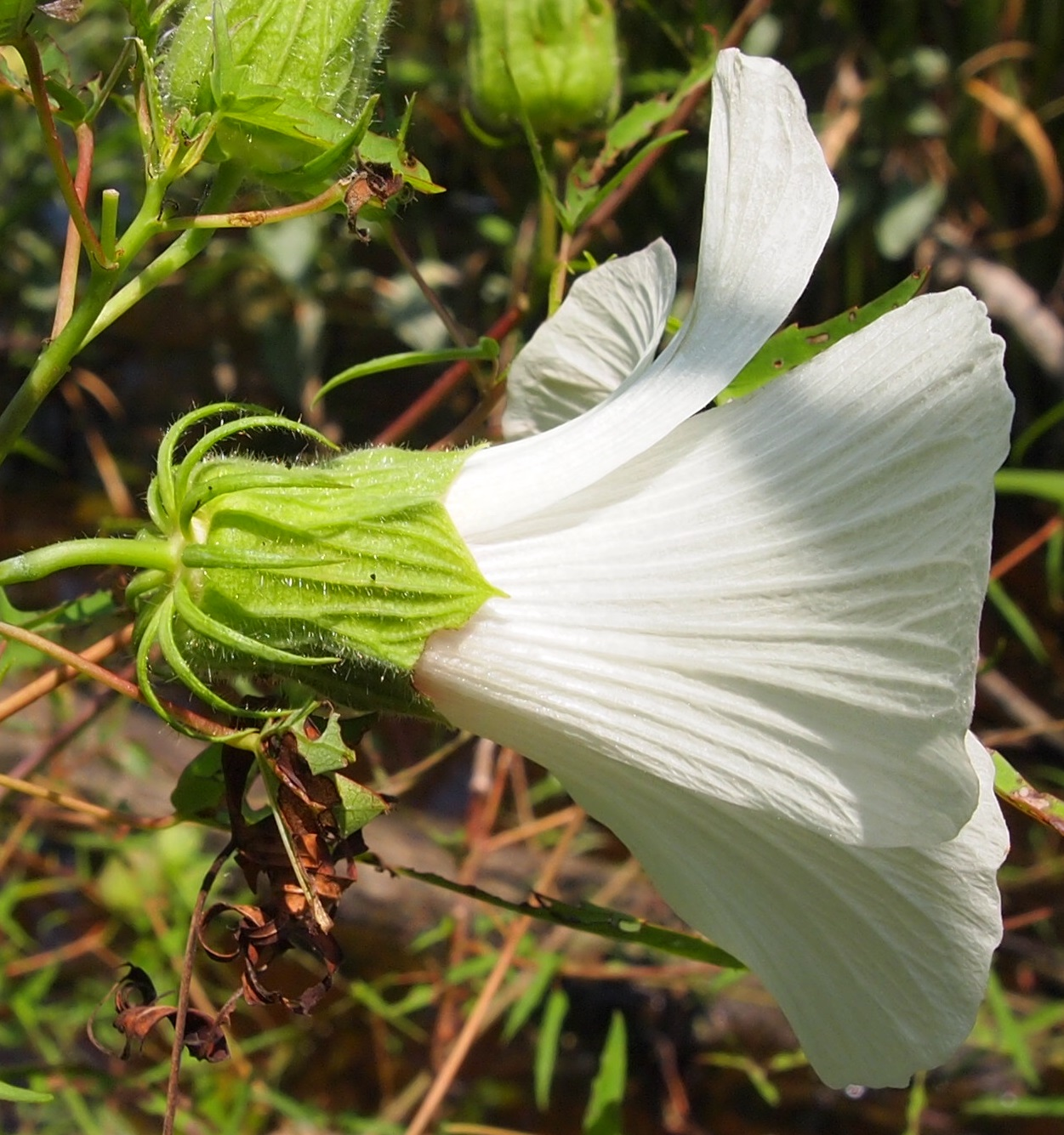 Neches river rose mallow federal state listed plants of texas neches river rose mallow has hairy bracts and sepals the bracts have some erect hairs izmirmasajfo