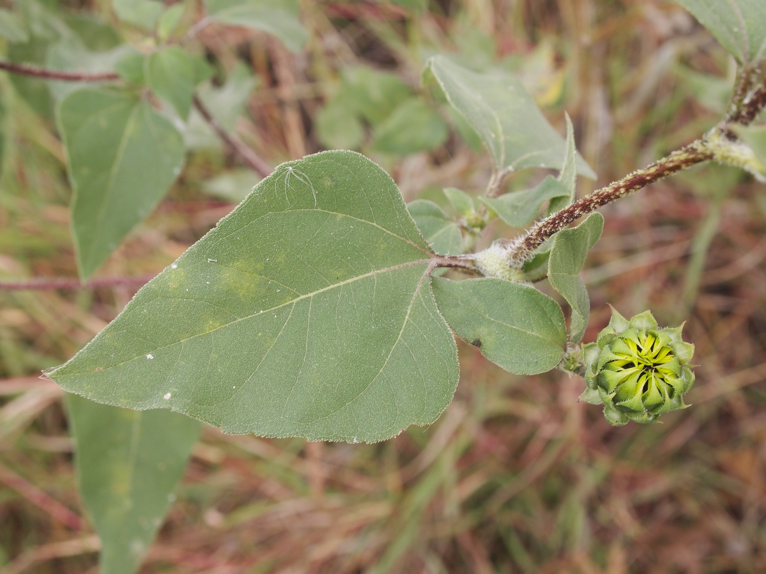 Pecos Sunflower Federal Amp State Listed Plants Of Texas