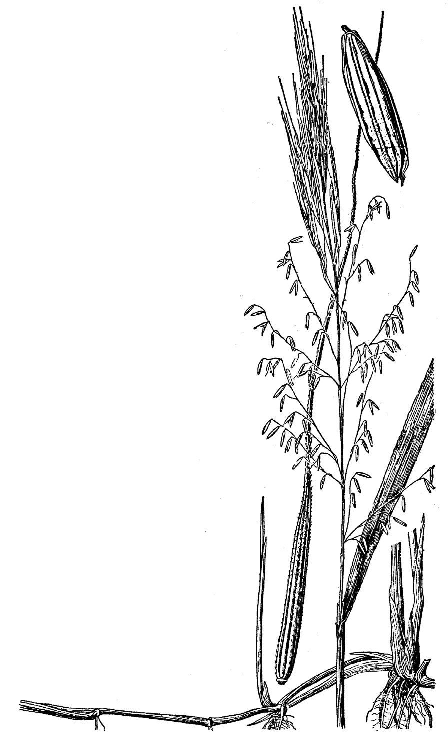 Texas wild-rice: Federal & State Listed Plants of Texas