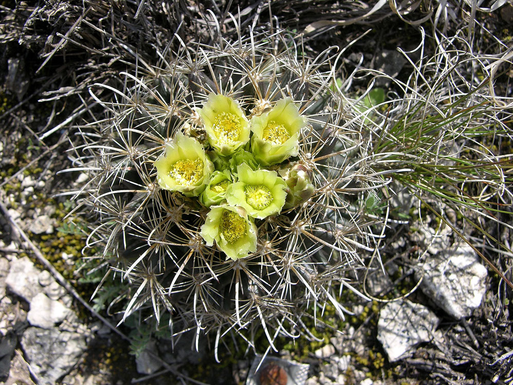 Tobusch fishhook cactus federal state listed plants of for Fish hook cactus