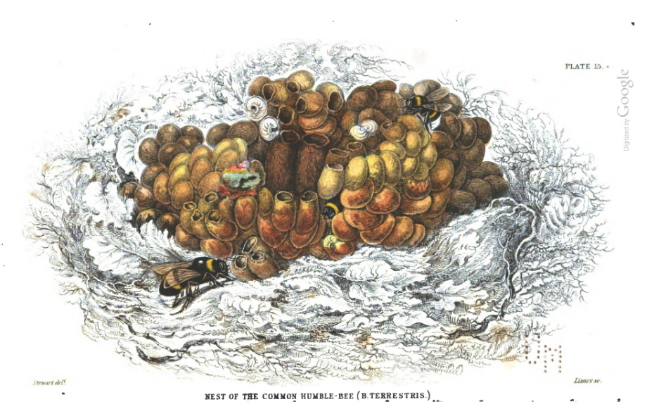 Illustration of a bumble bee nest with wax cocoons and nectar pots.