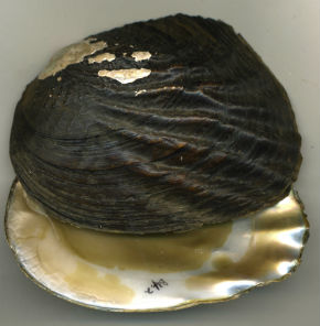 Washboard mussel