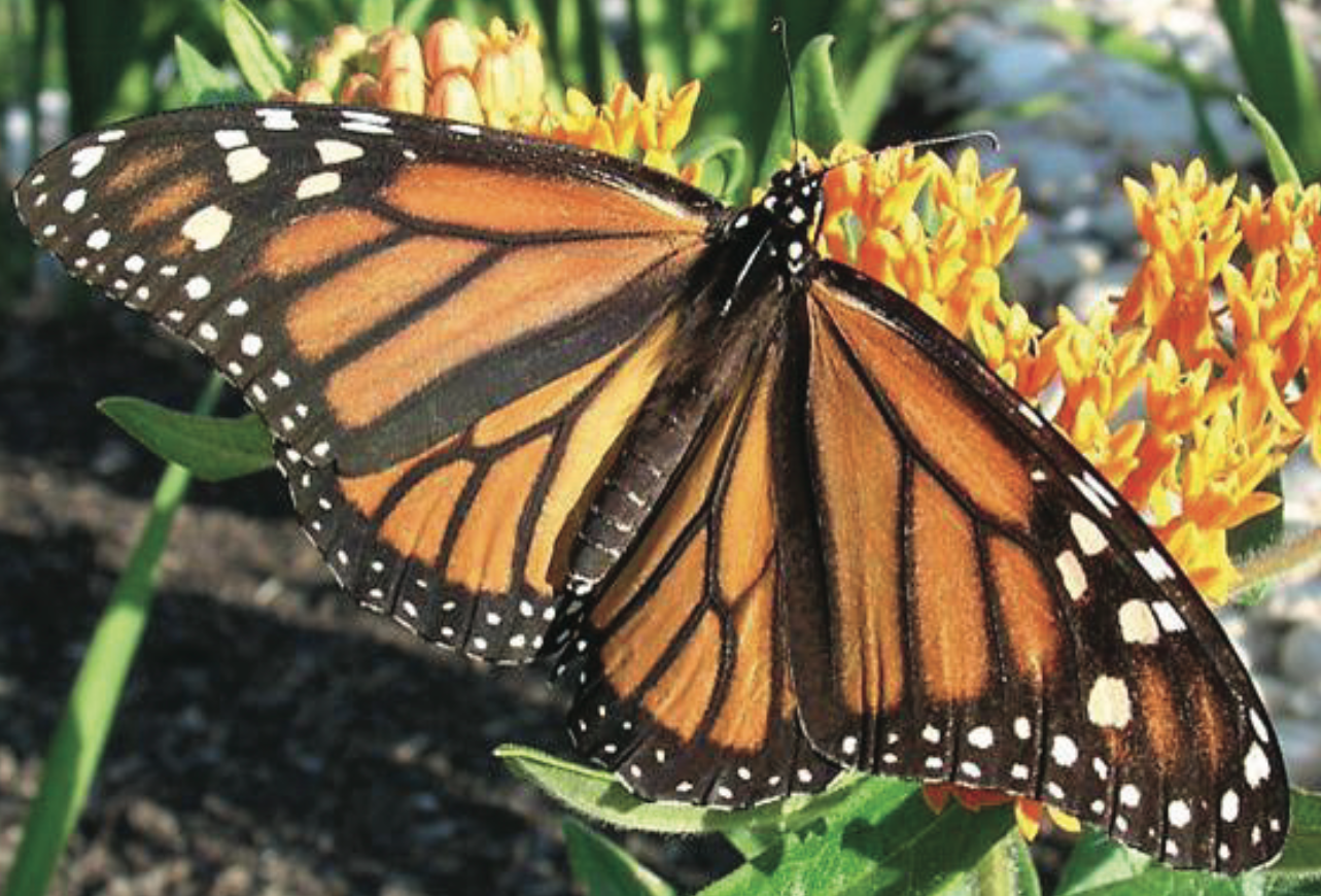 monarch identification monarch butterfly texas nature trackers