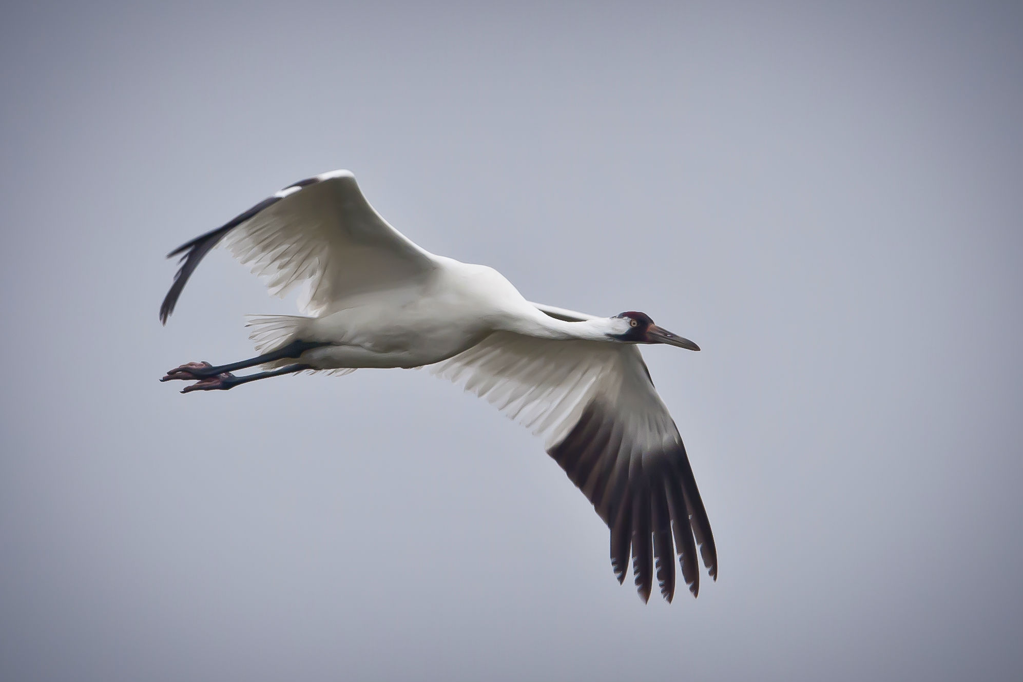 TPWD Texas Whooper Watch Is It A Whooping Crane