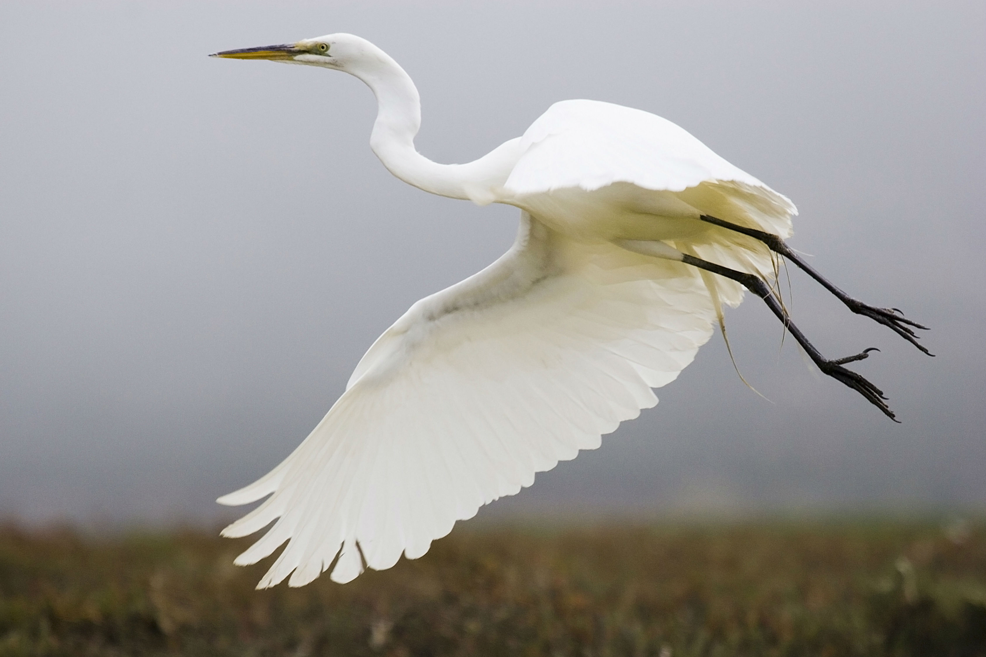 White crane bird - photo#21