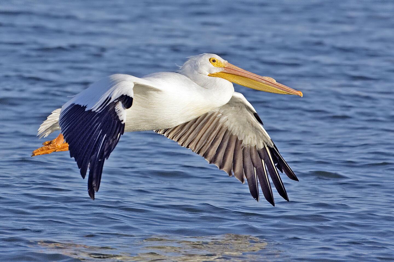 Tpwd texas whooper watch whooping crane look alikes - Fotos de pelicanos ...