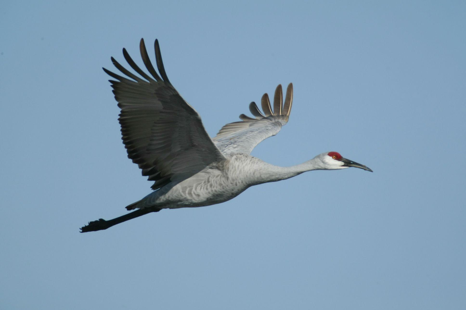 TPWD: Texas Whooper Watch: Whooping Crane Look-alikes