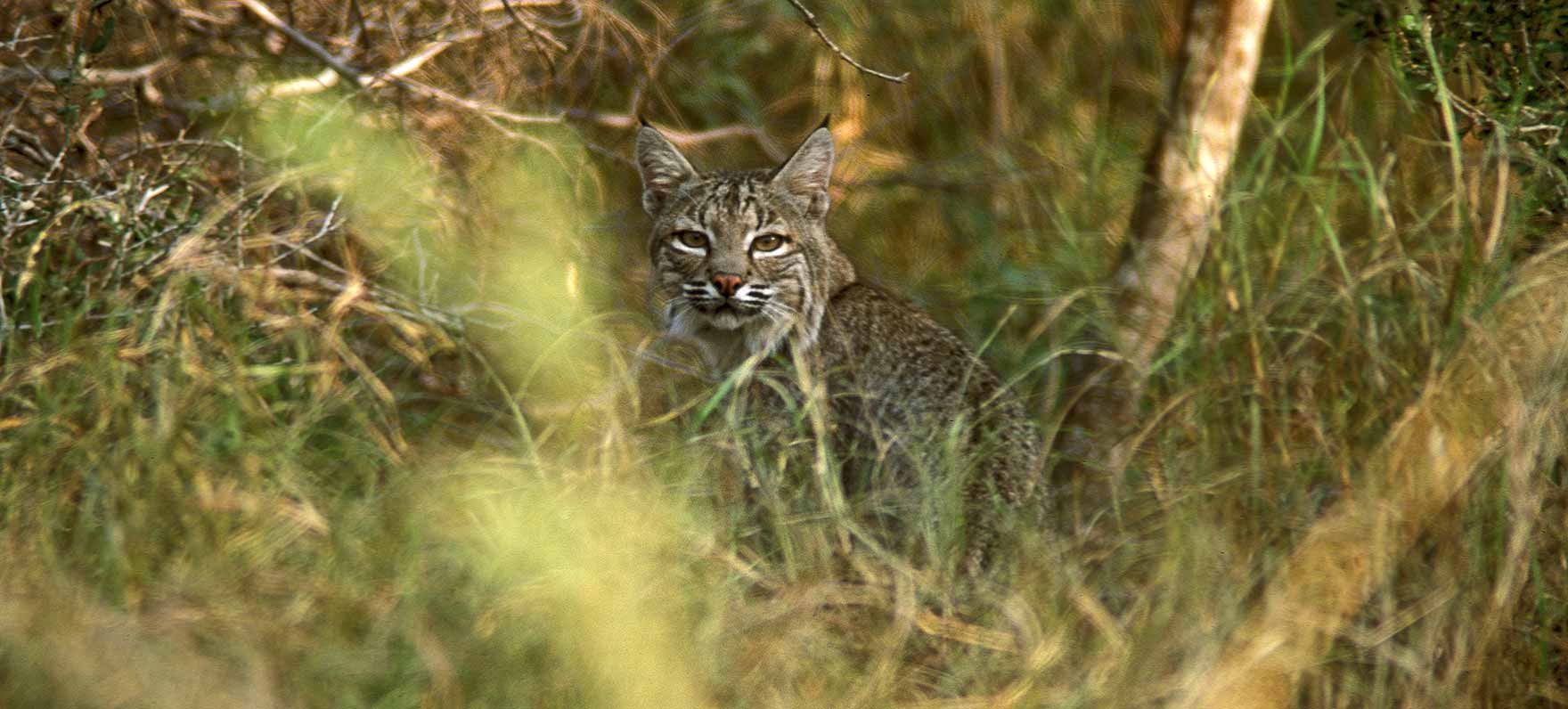 Bobcat in Choke Canyon