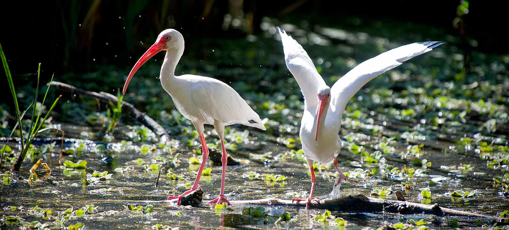 ibis: white with black wingtips and slender, curved bill