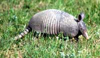 armadillo photo by Nancy Herron