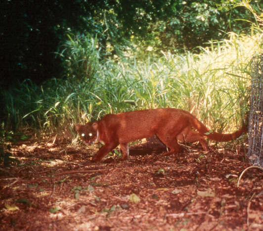 jaguarundi The South Texas Brushlands are better known for its large ranches
