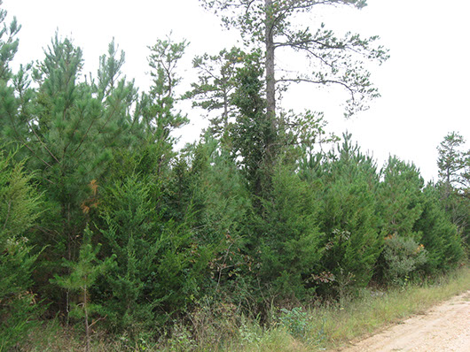 example pine plantation 1 to 3 meters tall.jpg