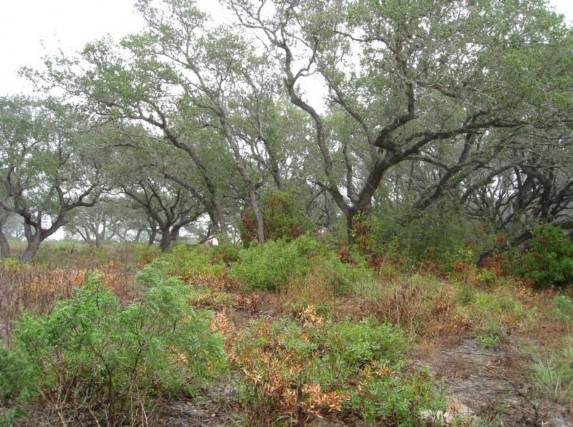 Example_Deep_Sand_Live_Oak_Forest_and_Woodland.jpg
