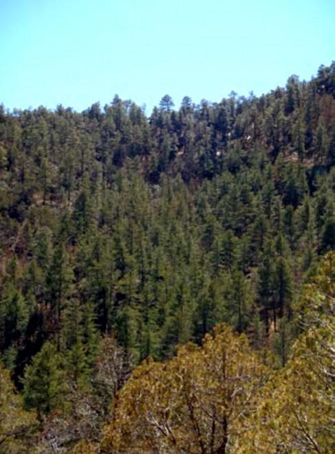 Example_Trans_Pecos_Ponderosa_Arizona_Pine_Woodland.jpg