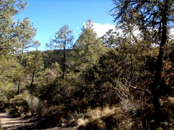 Example_Trans_Pecos_Montane_Mesic_and_Canyon_Pine_Juniper_Forest.jpg