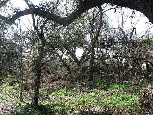 chenier plain-live oak fringe forest-1112.jpg
