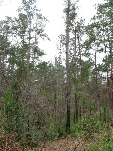 Example Pineywoods Southern Mesic Pine/Hardwood Forest.jpg
