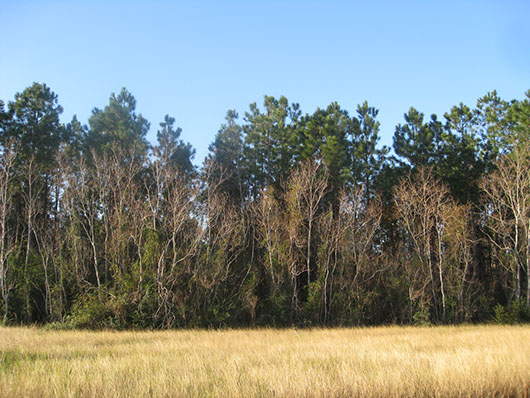 pineywoods-pine forest or plantation-1757.jpg