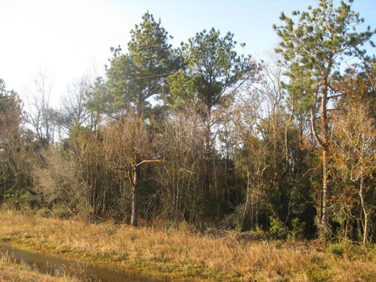 pineywoods-pine-hardwood forest or plantation-1754.jpg