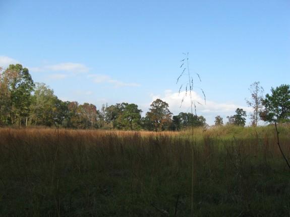 Example Pineywoods: Sandhill Grassland or Shrubland.jpg