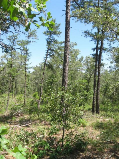 Example Pineywoods: Sandhill Oak/Pine Woodland.jpg