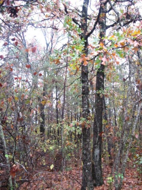 Example Pineywoods: Sandhill Oak Woodland.jpg
