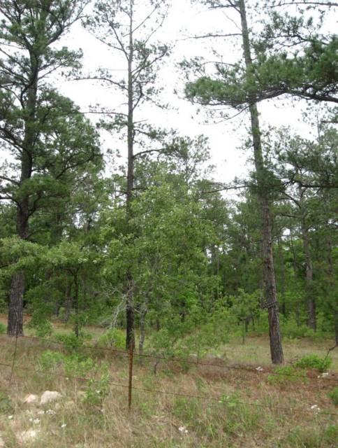 Example Pineywoods: Sandhill Pine Woodland.jpg