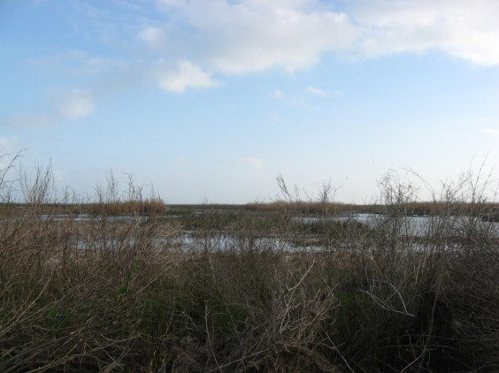 Example Chenier Plain: Fresh and Intermediate Tidal Shrub Wetland.jpg