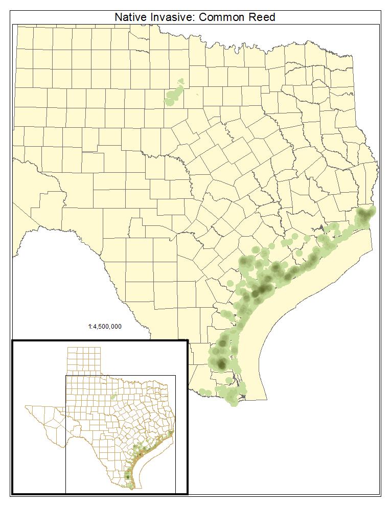 Native Invasive: Common Reed