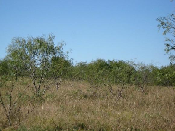 Example Native Invasive: Mesquite Shrubland.jpg