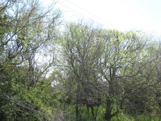 Example Non-Native Invasive: Chinese Tallow Forest, Woodland, and Shrubland.jpg