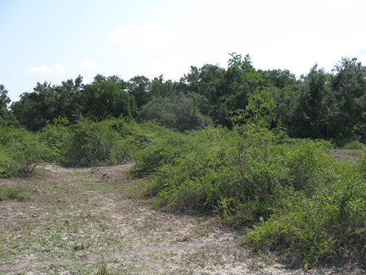 non-native invasive-rose hedge shrubland-1177.jpg