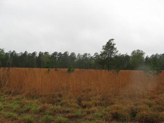 Example Pineywoods: Disturbance or Tame Grassland.jpg