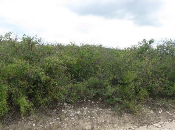 Example Edwards Plateau Shin Oak Slope Shrubland.jpg