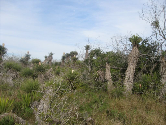 Example South Texas Loma Evergreen Shrubland.png