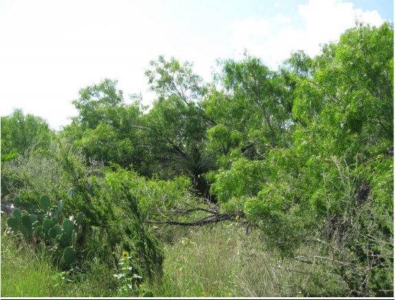 Example South Texas Clayey Mesquite Mixed Shrubland.png
