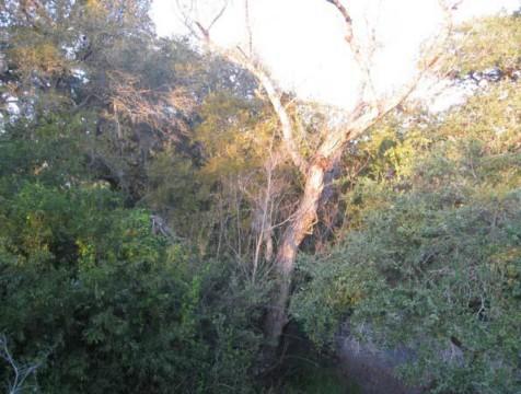 Example Coastal Bend: Floodplain Live Oak Forest.jpg