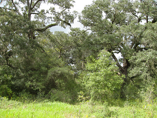 columbia bottomlands-live oak forest and woodland-813.jpg