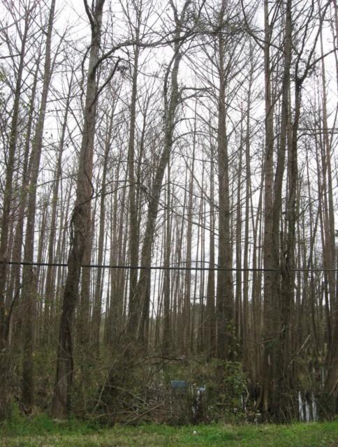 Example Central Texas: Floodplain Baldcypress Swamp.jpg
